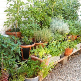 Kräuter im Garten als Schutz vor Mücken