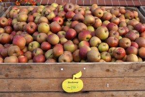 Apfelsorte Boskop im Alten Land Hamburg