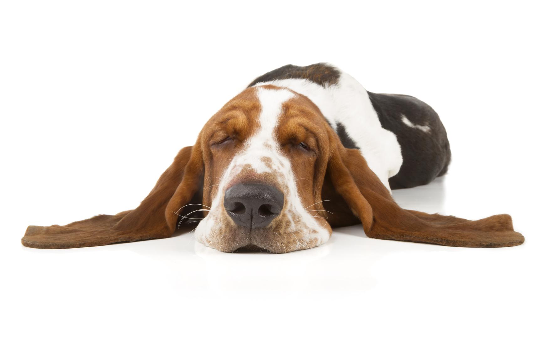 Tipps gegen Nachmittagsmüdigkeit: schlafender Basset Hund
