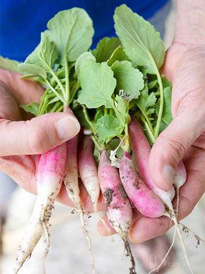 französische Radieschen frisch vom Garten für Clean Eating