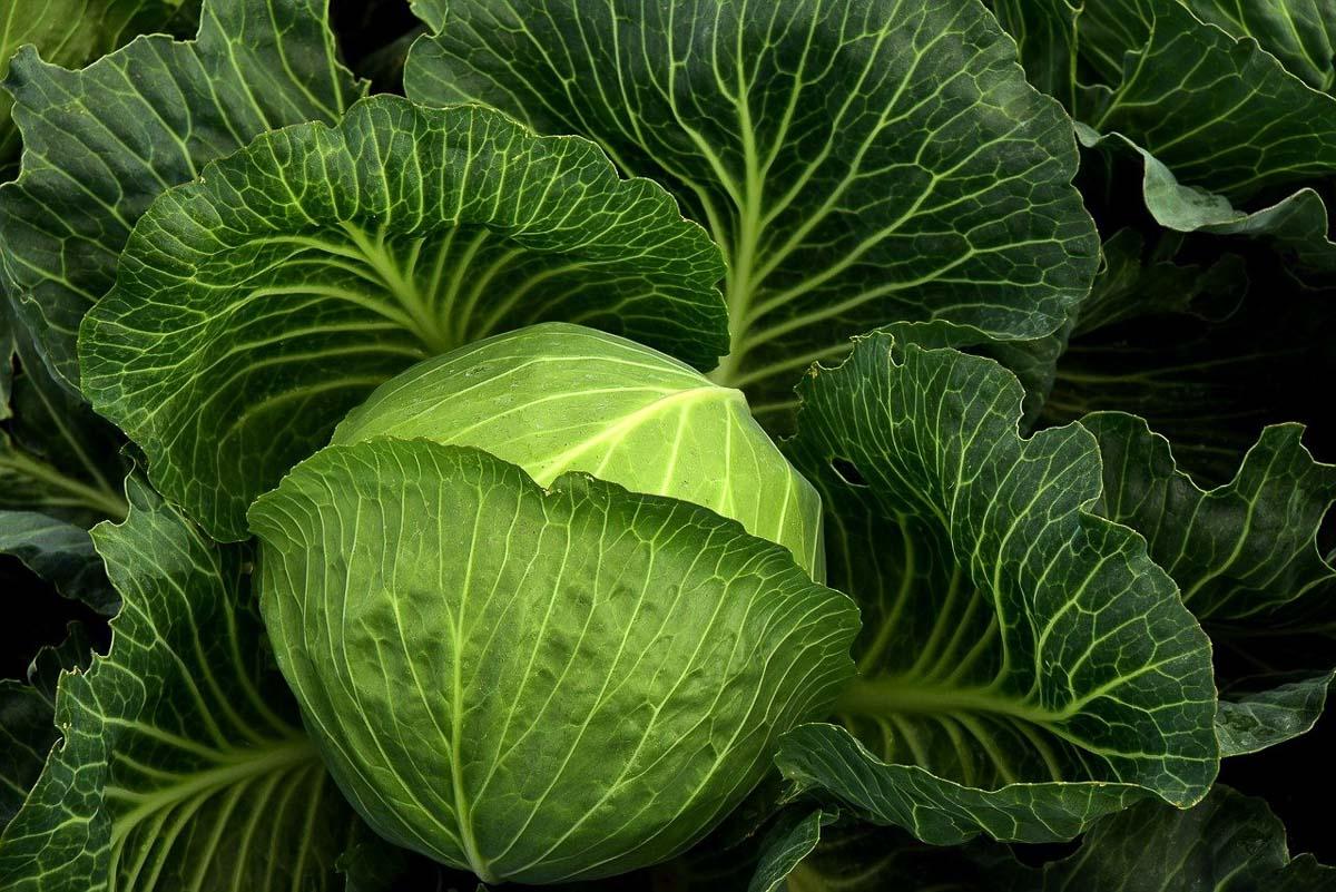 WEIßKOHL. Farm-to-Fridge: Der nächste gesunde Food-Trend