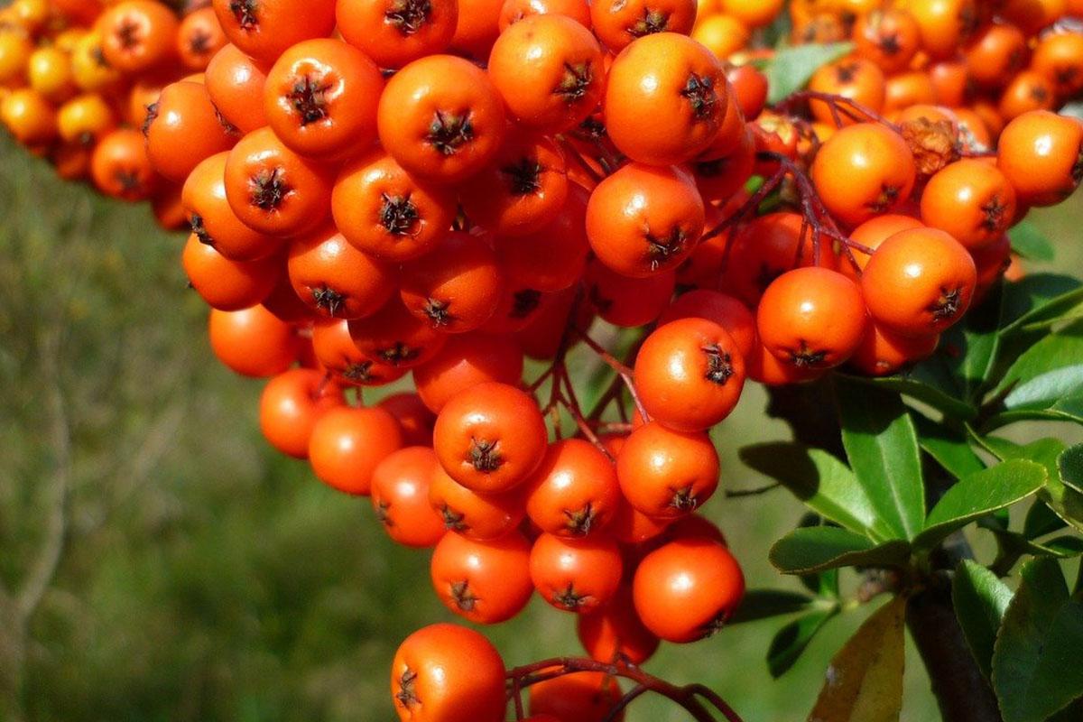 Gesunde Super Beeren: Sandorn